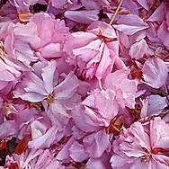 Fallen Blossoms, Cherry Blossoms, Prospect Park, Brooklyn, New York