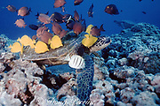 green sea turtle, Chelonia mydas, being cleaned by yellow tangs and gold-ring surgeonfish, Zebrasoma flavescens, Ctenochaetus strigosus, and Acanthurus triostegus, Hawaii ( Pacific Ocean )