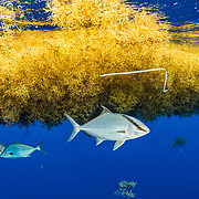 Almaco Jack fish (Seriola rivoliana) take shelter under a sargassum matt with a plastic packing tie in it. Image made in the Sargasso Sea, Atlantic Ocean, International Waters.