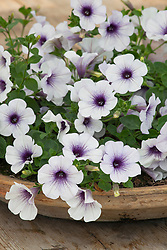 Petunia Surfinia 'Blue Vein' in a shallow terracotta container