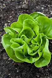 Lettuce 'Montel'