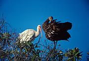 White Ibis, Eudocimus albus, and Limpkin, Aramus guarauna, preening, Shark Valley, Everglades National Park, Florida.
