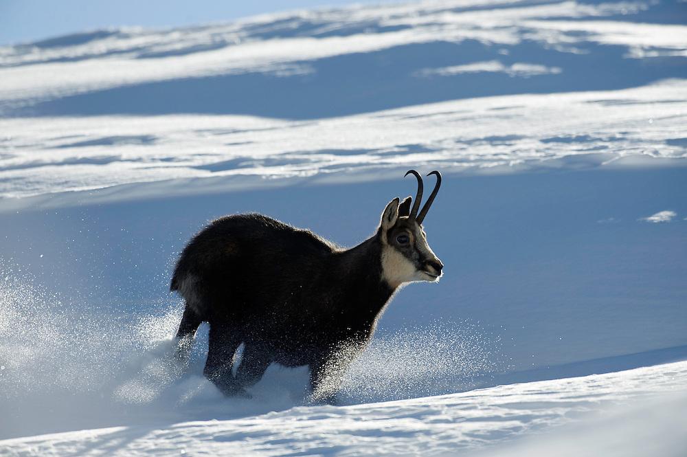19.11.2008.Chamois (Rupicapra rupicapra). Running in snow..Gran Paradiso National Park, Italy