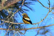 Male Evening grosbeak (Coccothraustes vespertinus), perched.