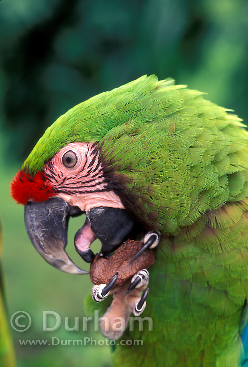 A military macaw (Ara militaris) eating a nut with its dexterous claw. Note the finger-like tongue that is also used to manipulate the nut. Range: South Mexico to East Bolivia, Captive, Portland Oregon.