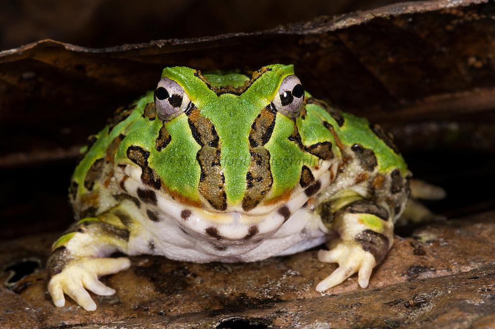 Pacific horned frog (Ceratophrys stolzmanni) <br /> CAPTIVE<br /> South west ECUADOR. South America<br /> RANGE: Ecuador, Peru<br /> 0-100m<br /> Vulnerable