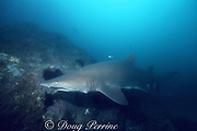 sand tiger ( gray nurse ) shark, Carcharias taurus, with lead fishing weights and line dangling from first gill slit, Seal Rock, Australia
