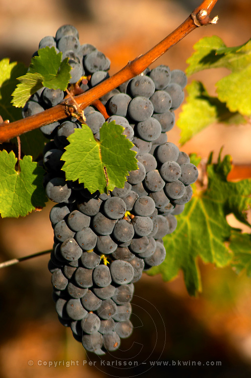 A single cabernet Sauvignon bunch of grapes, circa 35 years old with ripe grapes  - Chateau Belgrave, Haut-Medoc, Grand Crus Classe 1855