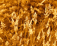 Wild grasses on Northern California coast