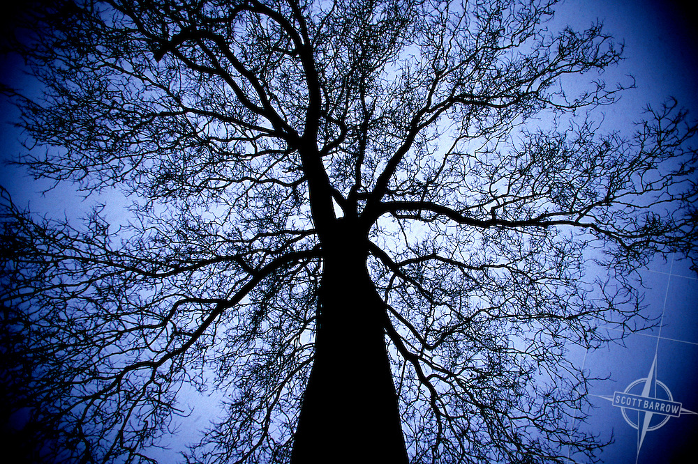 Sycamore tree in winter.  Bare tree.