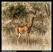 Generet<br /> Samburu National Reserve, Kenya<br /> September 2012