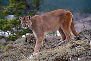Male Cougar (Felis concolor) portrait. Range: North America, Canada south to all South America. Captive, Montana.