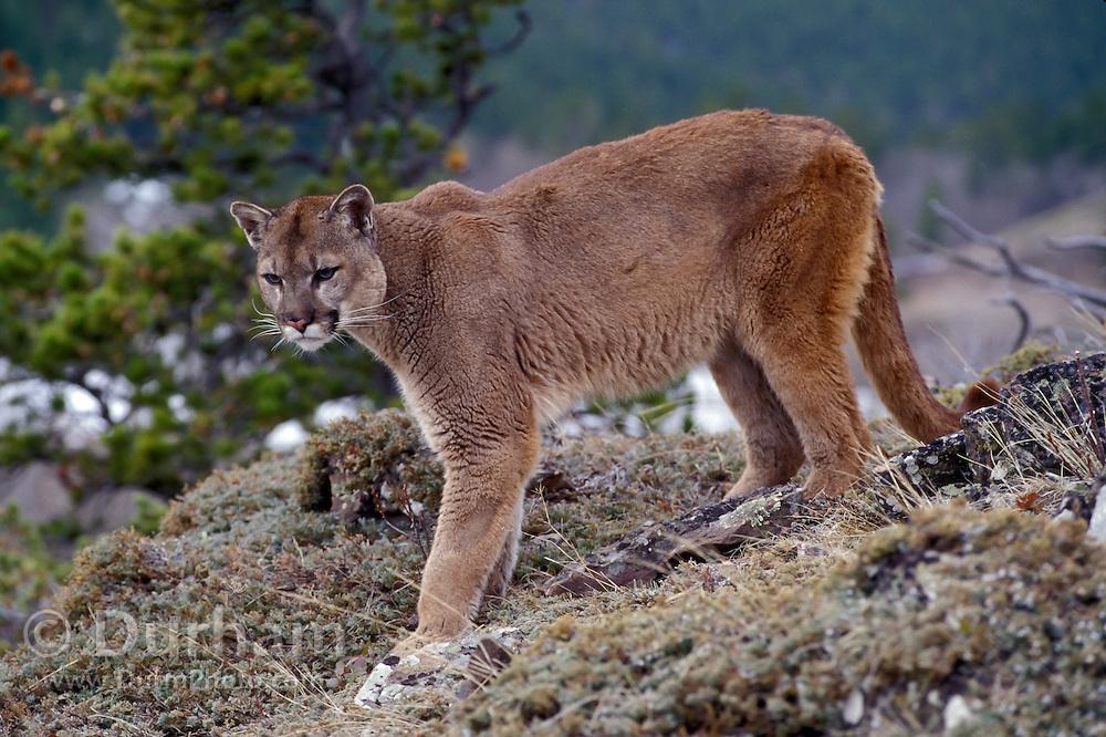 Male Cougar (Felis concolor) portrait. Range: North America, Canada south to all South America. Captive, Montana.