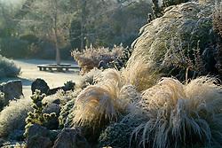 Stipa tenuissima on the rock garden illuminated by early sunlight on a frosty morning. Design: John Massey, Ashwood Nurseries