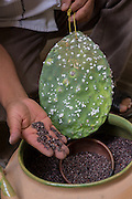 A craftsman shows a prickly pear cactus covered with cochineal bugs used to dye yarn for making carpets in the village of Teotitlan de Valle in the Oaxaca Valley, Mexico.
