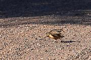 American woodcock (Scolopax minor) in gravel road.