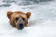 Brown (Grizzly) Bear in white water at the base of Brooks Falls - closeup.(Ursus arctos horribilis).Katmai National Park, Alaska