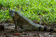 Close up of a green iguana (iguana Iguana) with spines and dewlap Photographed in Costa Rica