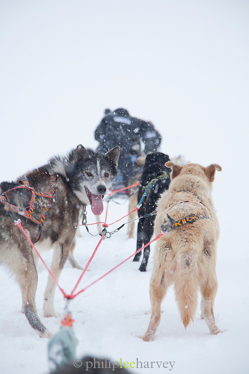 Huskies pull a sleigh through deep snow in Spitsbergen. Spitsbergen is the largest island of the arctic archipelago Svalbard, of Norway
