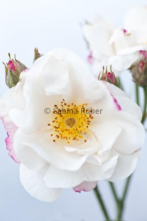 Rosa 'Hebe's Lip' - Gallica rose