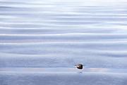 A small pebble lies on the beach among wavy sand ripples at Kalaloch Beach, Olympic National Park, Washington.