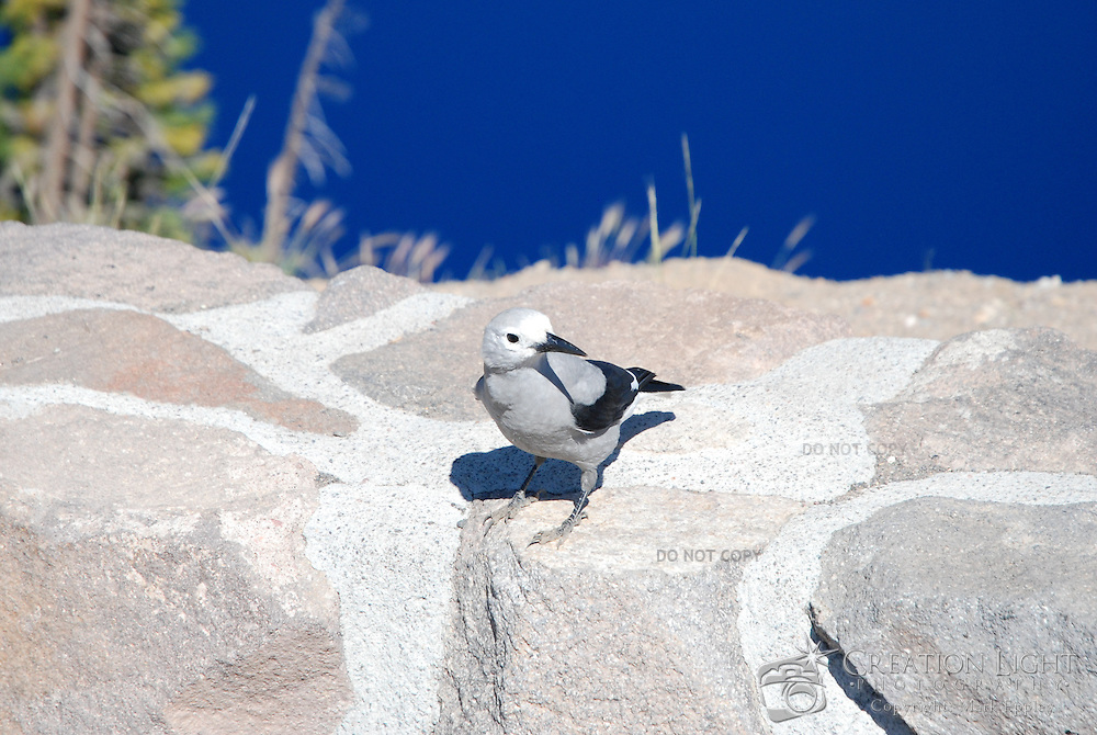 The Clark's Nutcracker (Nucifraga columbiana), is a large passerine bird, in the family Corvidae. It is ashy-grey all over except for the black-and-white wings and central tail feathers. All Clark's Nutcrackers have a sublingual pouch capable of holding around 90 seeds; the pouch greatly enhances the birds' ability to transport and store seeds...Surplus pine seed is stored, usually in the ground for later consumption, in as many as 2500 caches of 5-10 seeds each spread over an area of up to 20 × 20 kilometers (12.5 × 12.5 mi). The birds regularly store more than their actual needs as an insurance against seed theft by other animals. Closely tied in with this storage behaviour is the bird's remarkable long-term spatial memory as they are able to relocate caches of seeds with remarkable accuracy, even six months later, and even when the cache sites are buried under 3 feet of snow.