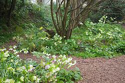 Helleborus x hybridus syn. Helleborus orientalis in the woodland garden at Glebe Cottage