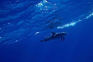 Spotted Dolphin lone