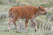 Bison calf in late spring in Wyoming
