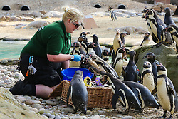 © Licensed to London News Pictures. 18/04/2019. London, UK. Colony of Humboldt Penguins (Spheniscus humboldti) are served their fishy breakfast in a bright Easter basket at London Zoo.  Photo credit: Dinendra Haria/LNP