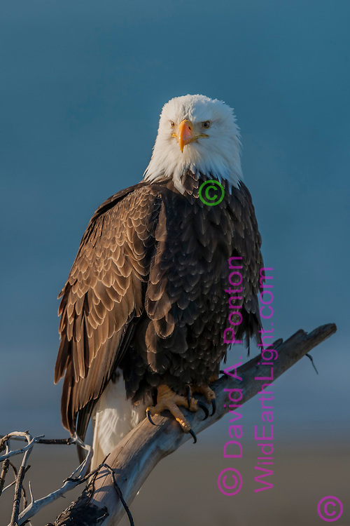 Bald eagle perched with ocean background, © David A. Ponton