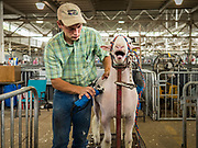 14 AUGUST 2019 - DES MOINES, IOWA: A man shaves a sheep before showing it at the Iowa State Fair. The Iowa State Fair is one of the largest state fairs in the U.S. More than one million people usually visit the fair during its ten day run. The 2019 fair run from August 8 to 18.                PHOTO BY JACK KURTZ