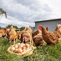 Somerville Egg Farm 2021