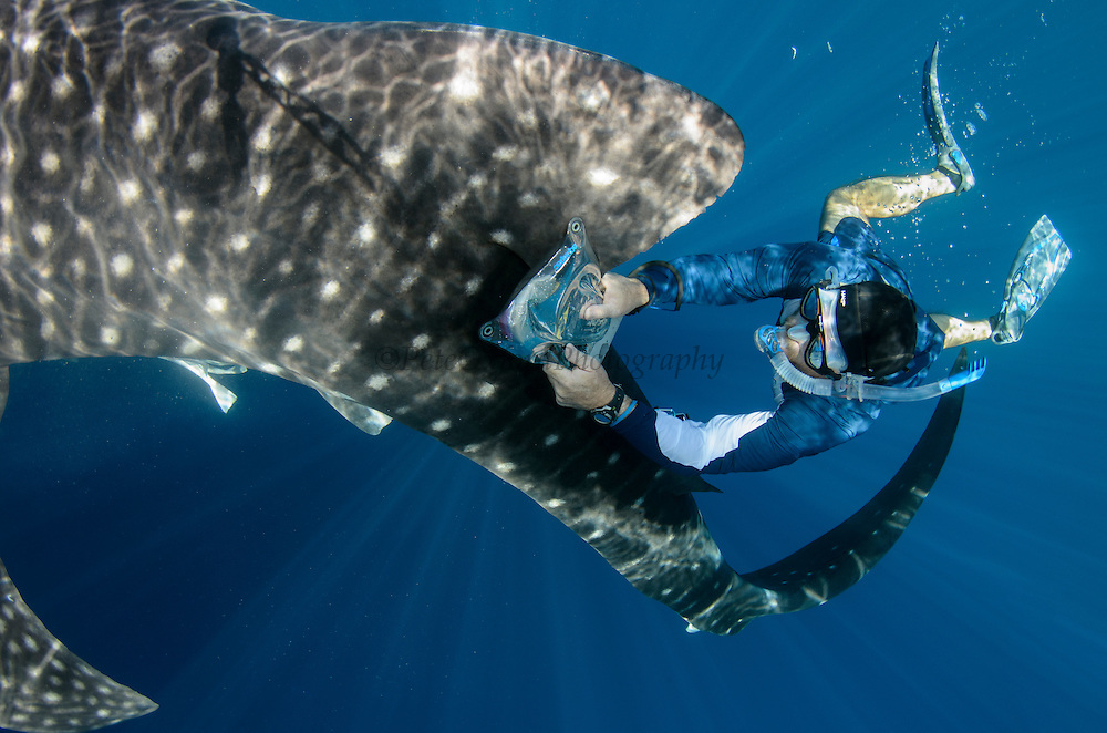 Whale Shark (Rhincodon typus) & scientist<br /> Cenderawasih Bay<br /> West Papua<br /> Indonesia<br /> Whale shark scientist using PIT tag receptor to check if shark is tagged