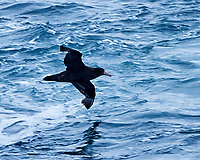 Southern Giant-Petrel (Macronectes giganteus). South Atlantic Ocean. Viewed from the deck of the Hurtigruten MS Fram. Image taken with a Nikon Df camera and 80-400 mm lens.