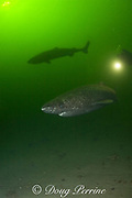 Greenland sleeper sharks, Somniosus microcephalus<br /> and diver, St. Lawrence River estuary, Canada<br /> (these sharks were wild & unrestrained; they were not hooked<br /> and tail-roped as in most or all photos from the Arctic)<br /> MR 374
