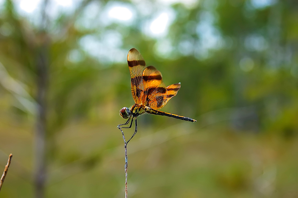 One of the most striking and common of the medium-sized dragonflies of the Florida Everglades, the Halloween pennant gets its name from its banded bright orange and brown wings. Known for a butterfly-like flying pattern, this summertime dragonfly is found in most of Eastern and Central North America.