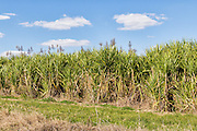 Field of sugar cane on farm under blue sky and cumulus cloud in South Kolan, Queensland, Australia <br />