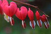 Bleeding Hearts,' Highland Mansion and Gardens, Montgomery Co.PA