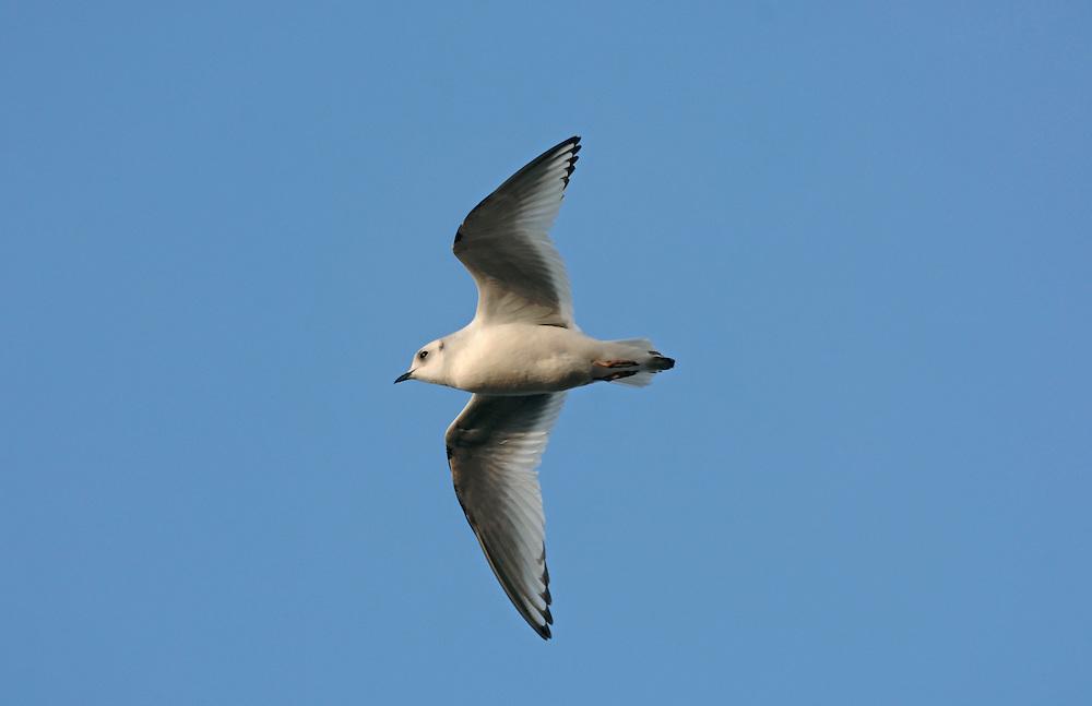 Ross's Gull - Rhodostethia rosea - Winter Adult