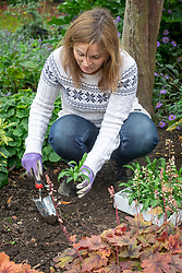 Planting out spring bedding - wallflowers - in a border in autumn