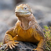 A portrait of Land Iguana (Conolophus subcristatus). Plazas Island, Galapagos, Ecuador