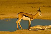 Springbok at a watering hole, Etosha National Park, Namibia