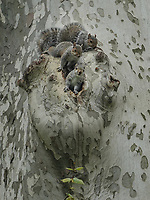 Three young squirrels at their home in a sycamore tree near the Reservoir in Central Park