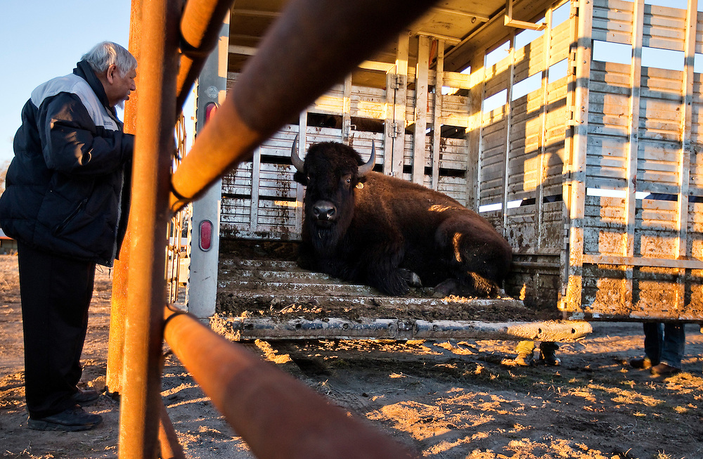 The first bison is coaxed out of a trailer by Louis LaRose of the Winnebago Tribe of Nebraska Saturday evening on land owned by the Crane Trust Nature and Visitor Center. The genetically pure bison came from the RimRock Ranch near Crawford, Neb., and will live on Shoemaker Island. (Independent/Matt Dixon)