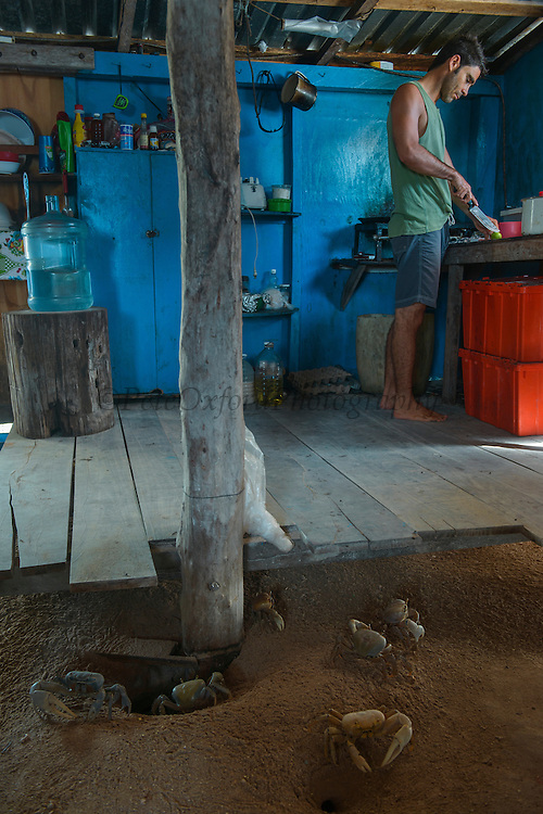 Blue land crab (Cardisoma guanhumi)<br /> in 'kitchen' <br /> Banco Chinchorro, <br /> Offshore Atoll<br /> Yucatan Peninsula<br /> Mexico<br /> Central America