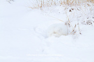 01863-01312 Arctic Fox (Alopex lagopus) in snow Chuchill Wildlife Mangaement Area, Churchill, MB Canada