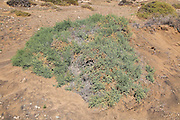 Desert vegetation, near Paraja, Fuerteventura, Canary Islands, Spain