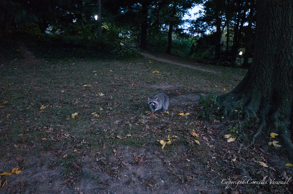 A raccoon near the Lake in Central Park