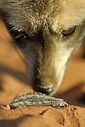 Bat-eared fox (Otocyon megalotis) | Etwa 80% der Nahrung der Löffelhunde (Otocyon megalotis) besteht aus Insekten. Durch ihr auf diese Ernährung angepasstes Gebiss mit 46 bis 50 (!) Zähnen unterscheiden sich die Löffelhunde von allen anderen Hundeartigen, also den Schakalen, Füchsen und Wölfen.
